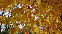 Natures beauty (Eddie Crutchley) Tags: europe england cheshire outdoor nature beauty autumn trees leaves sunlight simplysuperb greatphotographers