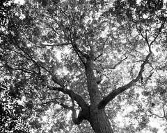 20020926_IMG_0007_trm_mod (NAMARA EXPRESS) Tags: landscape tree mountain north fine outdoor monochrome blackandwhite maruyama sapporo hokkaido japan film agfa scala 200x plaubel makina67 makina nikkor 80mm f28 canon canoscan 9000f scanner scan namaraexp