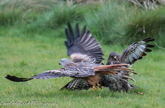 Buzzard (Buteo buteo) & Red Kite (Milvus milvus) (hunt.keith27) Tags: buzzard buteobuteo oneeyed diving felling redkite feather wings feeding gigrin wales vulnerable swooping ground