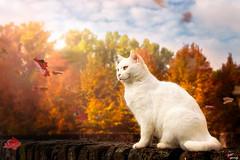 Dreaming (LightRapsody) Tags: gatto foglie autunno autunnale sogno bianco vento
