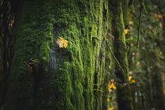 Isolated (Isaac Hilman (@lightofisaac)) Tags: leaf tree trees mossy moss forest woods bc humid malahat finlayson victoria canada nikon d800 70200mm isolated isolation alone separated