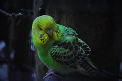 Wellensittich (Helmut Stegmann) Tags: wellensittich vogel bird federn budgerigar erding stadtpark zoo tierpark voliere flgel papagei fliegen melopsttacusundulatus schnabel feathers grn gelb bayern bavaria deutschland germany green yellow blau blue vogelpark geflgel sittich nature natur tier animal animalplanet nikon nikkor d5200 vgel birds colorfull color outdoor outside fly welikeit
