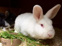 Pussy? (Rhisiart Hincks) Tags: untxi rabbit lapin coineanach konifl cwningen machynlleth powys