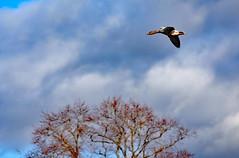 Canada Goose (clarktom845) Tags: douglas scotland bird goose sky