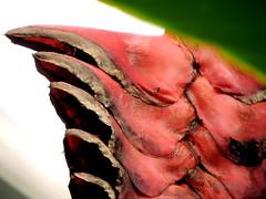 Edge (Grenzeloos1) Tags: heliconiamariae flower beefsteakflower ginger red strange macromondays edge