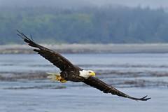Beach Eagle (r) (Blingsister) Tags: eagleinflight adultbaldeagle adulteaglemale sceniceagle eagle blingsister melanieleesonwildlifephotography canon7dmarkii canonef100400mmf4556lisiiusm14xiii northernvancouverisland