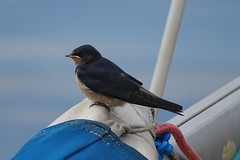 DSC01844 (simon_curwen) Tags: swallow bird feeding chick