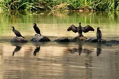 Ultimo sole in compagnia (luporosso) Tags: natura nature naturaleza naturalmente nikond300s nikon cormorano cormorant uccelli uccello bird birds riflesso riflessi reflection reflexo reflexes abigfave