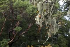 Methuselah's Beard Lichen (David Badke) Tags: metchosin bc lichen tree arbutus