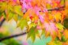 2016 Autumn leaves #1 (Yorkey&Rin) Tags: 10月 2016 autumn autumncolors autumnleaves em5 fallenleave gifu japan leicadgmacroelmarit45f28 momiji october olympus rin ta212543 takayama マクロ モミジ゙ 岐阜県 紅葉 高山市 秋 飛騨の里