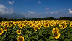 Sunflower field... (Koku85) Tags: sunflower flower landscape paisage nature japan