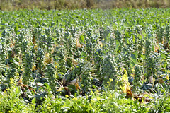 Brussel Sprout Farming (NeuroNeuroNeuro) Tags: farm purisima trail halfmoon bay california sony a6300 canon 100mm cowell ranch brussel sprout vegetables