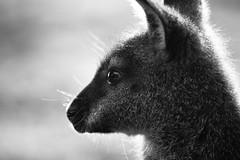 wallaby portrait (wilkins12) Tags: wallaby woburn safaripark nikon 300mmpf