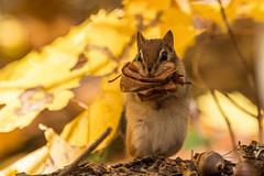 Chipmunk (sklachkov) Tags: fall chipmunk quebec gatineau nature colours
