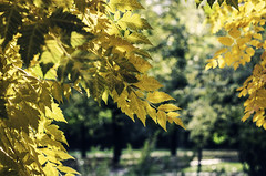 yellow and green (szlavid) Tags: nikon d7000 nikkor 50mm 18g autumn colours color green yellow tree leaves nature
