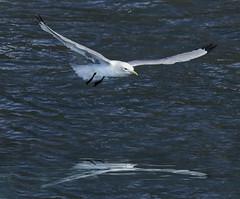 Sea bird in Valdez, AK 1 (Largeguy1) Tags: approved seabirdinvaldez ak animal nature water reflection canon 5d mark iii