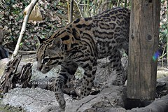 Ocelot (Haku_Orka) Tags: hakuorka photography fotografia photo foto animali animals mammiferi mammals terrestri felini big cats parco natura viva verona italia italy zoo natural nature zoological ocelot