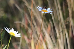IMG_9798 (ctmarie3) Tags: banffnationalpark vermilionlakes secondvermilionlake flower