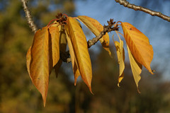 Zierkirsche, japanische / Japanese cherry (Prunus serrulata Kanzan) (HEN-Magonza) Tags: herbst autumn botanischergartenmainz mainzbotanicalgardens rheinlandpfalz rhinelandpalatinate deutschland germany