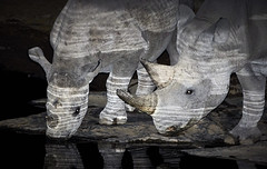 Black Rhinoceros Drinking (thewildlifephotographer) Tags: etosha rhino namibia rhinoceros