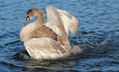 Back to normal   Juvenile Swan No 6 (jdathebowler Thanks for 950,000+ views.) Tags: cygnusolar juvenilemuteswan swan familyanatidae waterfowl muteswan bathingswan avianexcellence coth5 fantasticnature