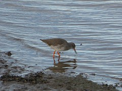 About to stab (Granpic) Tags: northumberland alnmouth riveraln reshank tringatotanus