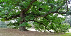 "Red Oak...""Quercus Rubra"" NE USA (standhisround) Tags: trees tree nature redoak leaves rbg royalbotanicalgardens kewgardens kew london uk neusa quercusrubra"
