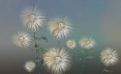 FloresPietMondrian_012 (Visualística) Tags: flores pietmondrian mondrian arte art interpretaciones abstracción paráfrasis versiones análisis flowers flower flor vegetal