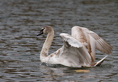 Recovery (Mukumbura) Tags: recovery sailing nonchalance swan cygnet diving falling splash muteswan cygnusolor grass bank water wells somerset bishopspalace nature wildlife adolescence somersault bird behaviour learning juvenile