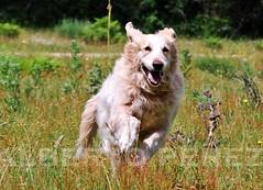 Mi fiel compaera (alberto vtr) Tags: perro dog mascota golden retriever animal compaia compaera monte sierra de madrid