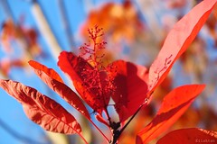 Happy moment (nathaliedunaigre) Tags: autumn automne nature feuilles leaves plantes fleurs red rouge colored couleurs color colors proxi feuillages arbuste fall stunning tonnant