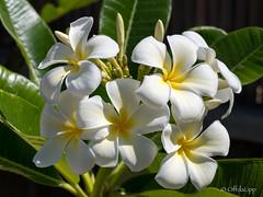 """""""Super White Obtusa"""" (OffdaLipp) Tags: plumeria obtusa exotic white frangipani offdalipp leica"""