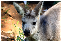 Cute Australian... (juliewilliams11) Tags: animal australian newsouthwales australia outdoor photoborder