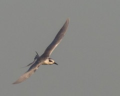 Forster's Tern (J.B. Churchill) Tags: birds fote forsterstern gullsterns maryland places sunsetpark taxonomy worcester oceancity unitedstates us