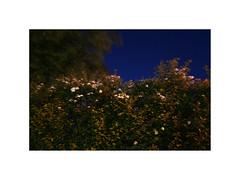 Ghost Town II. Galten, Denmark (June 2005) (csinnbeck) Tags: ghost town denmark galten 8464 aarhus jylland jutland 2005 june hedge flowers long exposure night summer summernight