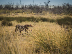 Gepard (fredrikholt) Tags: omd olympus oktober namibia em5 etosha panasonic lumix 100300 gepard