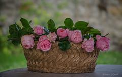 18 novembre 2016, in campagna... (adrianaaprati) Tags: rosaantica rosa petal petals campagna countryside cesta cesto poesia poetic poetry caravaggio basketoffruit