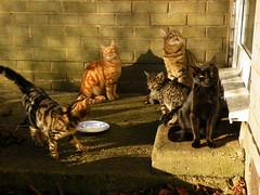 Farm cat family (rospix+) Tags: rospix 2016 november wales uk animal animals cat cats tabby tabbycat family blackcat gingercat