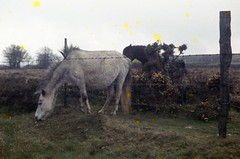 img073 (foundin_a_attic) Tags: 1964 cornwall horse pony green grass mores fence barbed wire