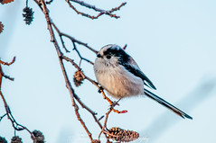 Long Tailed Tit (aegithalos caudatus) (phat5toe) Tags: longtailedtit aegithaloscaudatus birds avian feathers wildlife nature wigan flashes greenheart nikon d300 sigma150500
