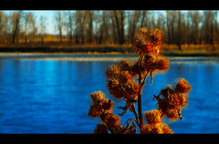 Riverside Burdock (LostMyHeadache: Absolutely Free *) Tags: life trees light shadow sky plants nature water beauty grass river spring nikon peace shore burdock tranquil magichour davidsmith calgaryalbertacanada