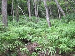Fern-Ferns (Kemm 2) Tags: japan pine forest jungle okinawa ferns subtropical pinetrees subtropicalisland