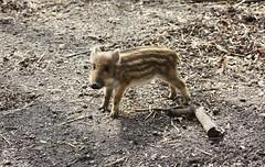 """Wild """"Schweini"""" (♥ ♥ ♥ flickrsprotte♥ ♥ ♥) Tags: kiel schleswigholstein wildschwein wildgehege frischling tannenberg projensdorf flickrsprotte"""