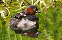 Hitching A Ride (Little Grebe) (Alistair Prentice.) Tags: irish lake male up female canal close little pentax young sigma chick 150 500 prentice piggyback dab grebe kx portadown newry dabchick fledging