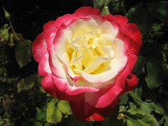 Rose - ורד (yoel_tw) Tags: rose jerusalem mtscopus wonderfulworldofflowers mormonuniversityisraelורדירושליםהרהצופים comesmelltheflowers