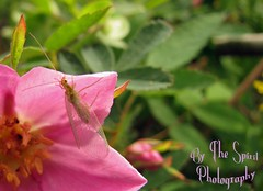 Lacewing on Wild Rose sm (BarbieW) Tags: flower rose alaska star soap berry blossom barbie palmer valley wildflowers wagner lupine kinn matanuska knik wasilla bythespiritphotography