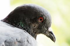 ankhiyo se goli maare!! (Pulkit Nakrani) Tags: india macro eye animal asia bokeh pigeon blink magical asiananimal sx220hs