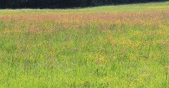 (Linda6769 (hiking)) Tags: germany village buttercup meadow thuringia brnn commonsorrel