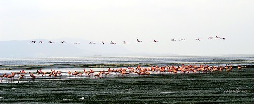 Flamingos at Sewri- 1.......................(Explored...)