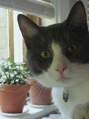 Hello Onyx (itchinstitchin) Tags: plants pet white house window face cat grey eyes sill gray kitty indoors onyx